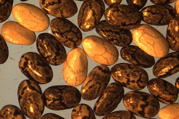 Las semillas de chía son ricas en omega-3 y compuestos antioxidantes   Loreto Muñoz et al.
