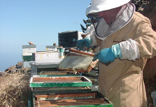 Un apicultor trabaja en las colmenas en El Teide