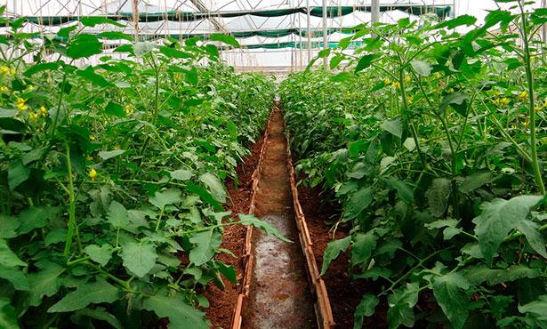 Plantas de tomate en invernadero | Foto: pixabay