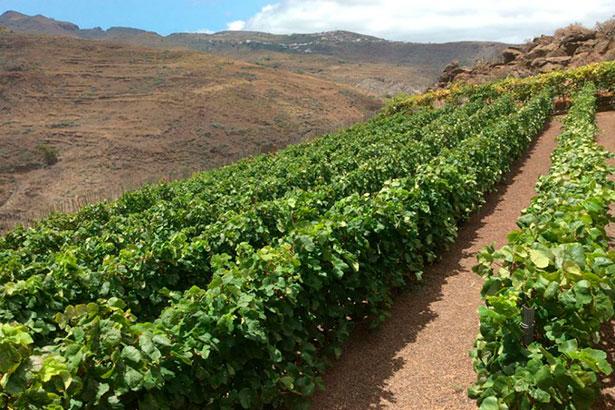 Imagen de viñas en Canarias