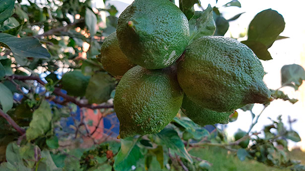 Los cítricos, con el limón a la cabeza, destacan por sus vitaminas, en especial la C   Foto: J.L.C.