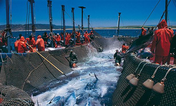 Captura de atunes | Foto: alimentacion.es