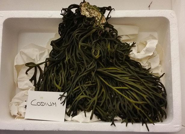 Codium, una de las algas comestibles | Foto: J.L.C.