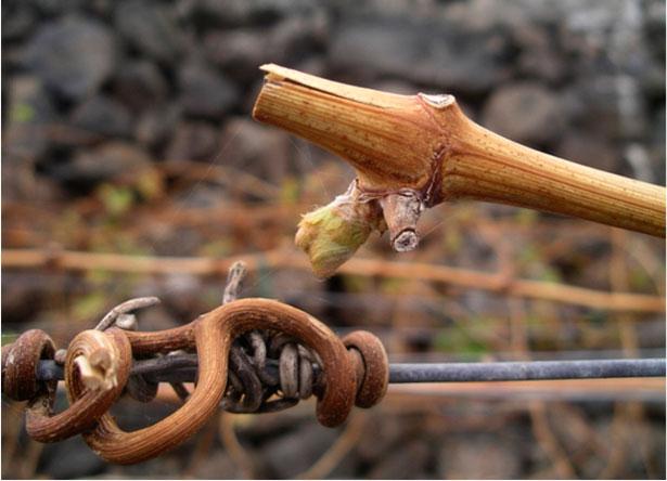 Se realizarán experiencias prácticas de Biodinámica en viñedos