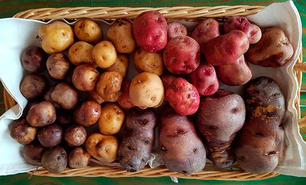 Variedades de papas canarias | Foto: J.L.C.