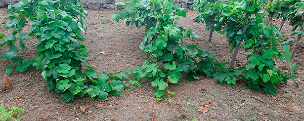 Manuel Lobo afirma que las primeras parras que se plantaron en  Gran Canaria en 1507 eran cepas Fogoneu, de tinta y autóctona de Mallorca Foto: J.L.C.