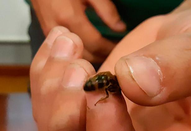Uno de los ejemplares de abeja negra canaria