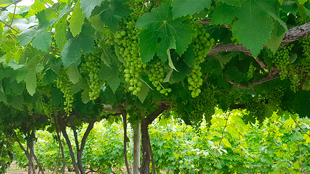 La superficie de cultivo destinada a viñedo ha experimentado una reducción del número de hectáreas   Foto: J.L. Conde
