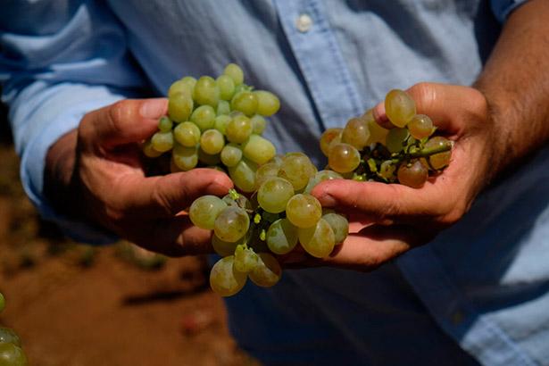 """""""La uva tiene que valer tres euros y se paga muchas veces por debajo de uno""""   Foto: Fran Pallero"""