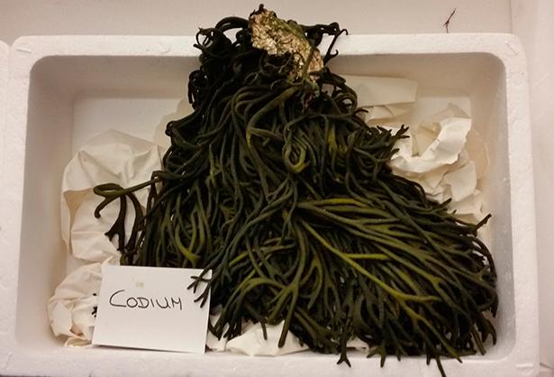 Alga codium | Foto: J. L Conde