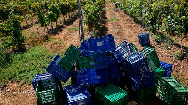 La vendimia se da por finalizada en todas las regiones vinícolas de España con una producción de uva abundante | Foto: Fran Pallero