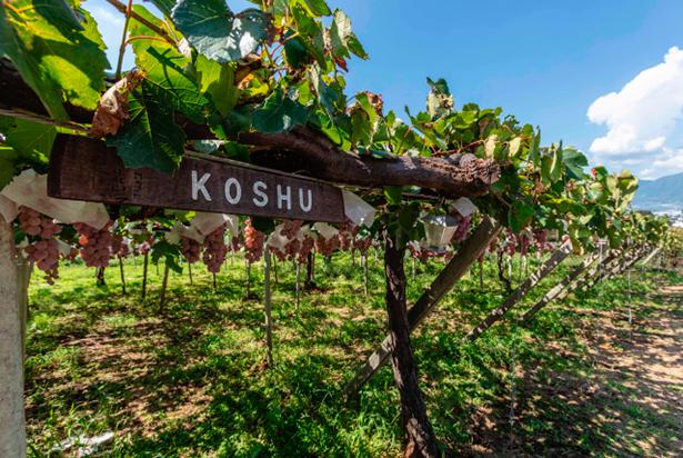 Koshu es una uva autóctona cuya gruesa piel consigue soportar las inclemencias del tiempo | Foto: Foodie Hong Kong