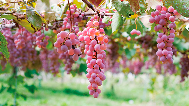 El color oficial de Katsunuma es el morado, por la distintiva tonalidad de la uva | Foto: Japan Brand