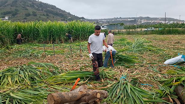La recogida de la caña de azúcar se ha adelantado una semana este año | Foto: José L. Conde