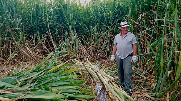 La caña se enfarda en montones de entre 20 y 30 kilos, que son trasladados a los molinos para evitar su secado | Foto: José L. Conde