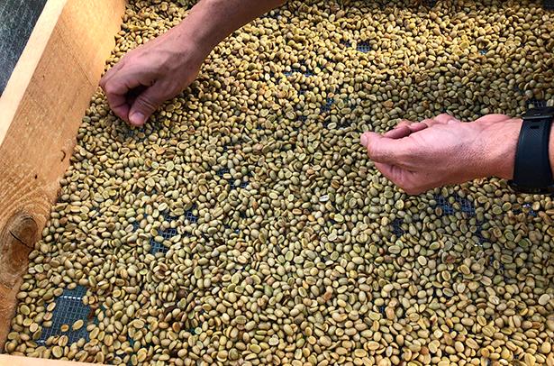 El café en La Palma se ha venido cultivando durante todos estos años para autoconsumo y elaboración de licor