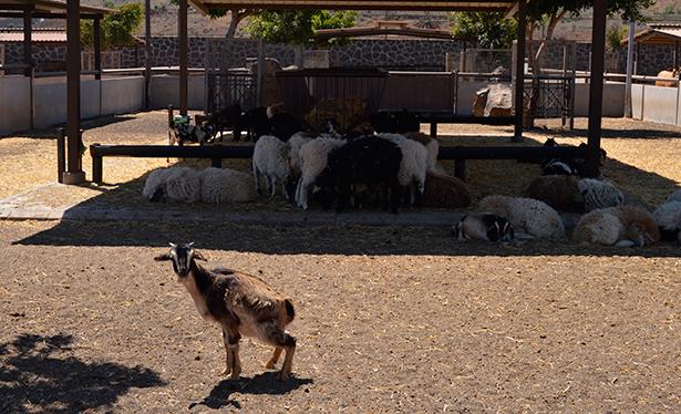En Finca de Uga se cuidan más de 1.000 animales, entre ellos la cabra majorera | Foto: J. L. Conde