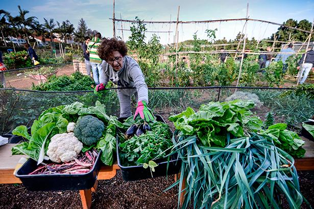 Una mujer recolecta hortalizas en la Granja del Cabildo de Gran Canaria