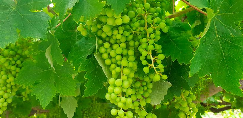 En la vendimia de este año ya han sido cosechados casi 90.000 kilos de uvas | Foto: José L. Conde