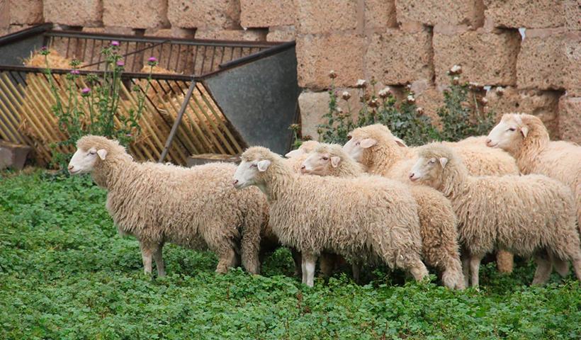 Para la carne de ovino y caprino, la ayuda oscila entre los 915 y 866 euros por tonelada