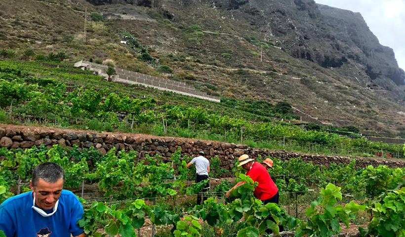 Inicio de la vendimia en la parcela San Juan Degollado de Bodegas Viñátigo