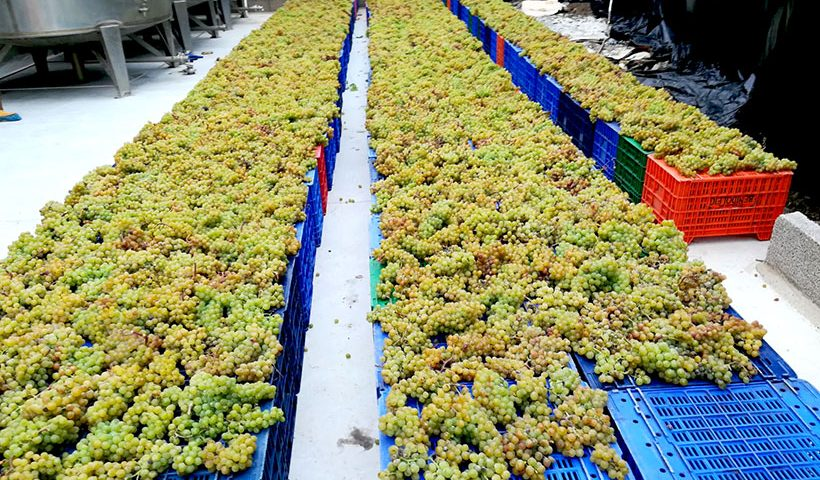 Vendimia en la Finca La Calabacera | Foto: Canary Wine