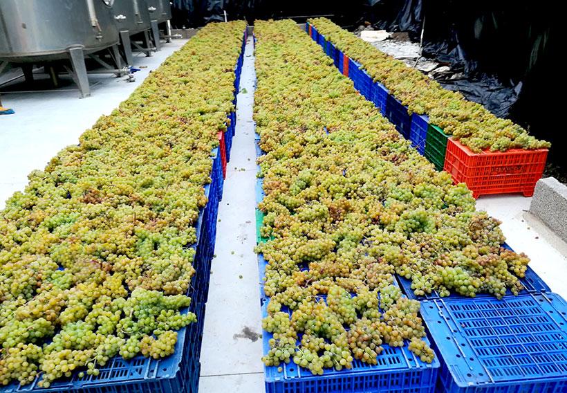 Vendimia en la Finca La Calabacera   Foto: Canary Wine