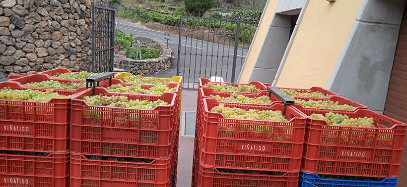 Uva destinada a las elaboraciones de Bodegas Viñátigo